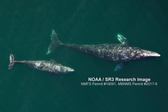 Gray whale and calf