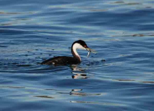 Birds that dive and forage for fish in the Salish Sea, including this western grebe, are 11 times more likely to experience population declines than other birds in the area, a UC Davis study found. Photo courtesy of UC Davis. All rights reserved.