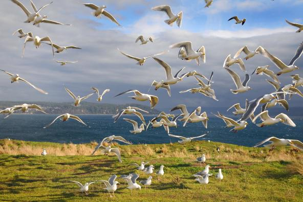 Glaucous-winged gulls in flight at Protection Island National Wildlife Refuge. Photo: Peter Davis/U.S. Fish and Wildlife Service
