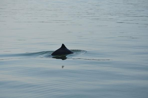 Harbor porpoise surfacing. Photo: Erin D'Agnese, WDFW