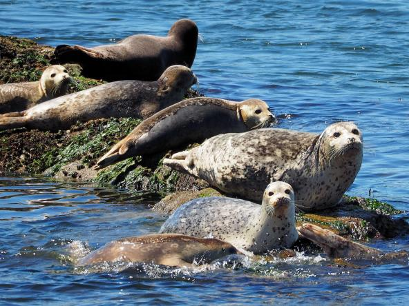 Several harbor seals lying on a rock
