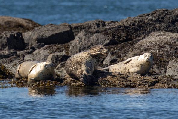 Harbor seals, San Juan Islands. Photo: Mick Thompson (CC BY-NC 2.0) https://flic.kr/p/JVtiJy