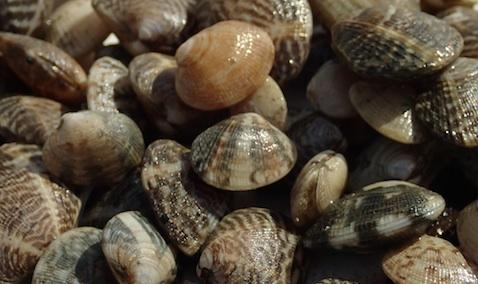 Juvenile Manila clams. Photo: Julie Barber