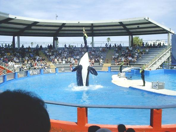An orca show at Miami Seaquarium featuring southern-resident orca Lolita. Photo by Marc Averette. Avaiable through a Creative Commons Attribution 3.0 Ported license. https://commons.wikimedia.org/wiki/File:Miamiseaquariumlolita.jpg