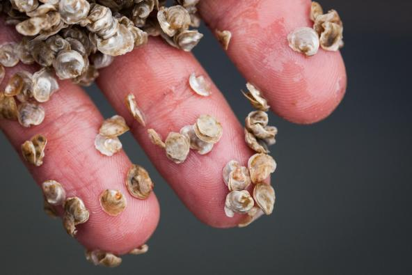 Six-month-old Olympia oyster (Ostrea lurida) seed. Photo: Benjamin Drummond/benjandsara.com