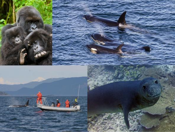 Clockwise from top left: 1) Mountain gorillas. Photo: Andries3 (CC BY-NC 2.0) https://www.flickr.com/photos/andriesoudshoorn 2) J pod Southern resident orcas – Photo: Miles Ritter (CC BY-NC-SA 2.0) https://www.flickr.com/photos/mrmritter/42903242165 3) Scientists collect orca breath samples. Photo: Pete Schroeder 4) Hawaiian monk seal. Photo: Karen Bryan/Hawaiian Institute of Marine Biology (CC BY-NC 2.0) https://www.flickr.com/photos/papahanaumokuakea/38322932854