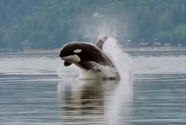 Puget Sound's orcas are among the most contaminated marine mammals in the world. Photo: Minette Layne (CC-BY-2.0) https://en.wikipedia.org/wiki/Killer_whale#/media/File:Orca_porpoising.jpg