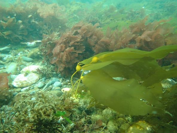Bull kelp (Nereocystis luetkeana), the only surface canopy species in the Puget Sound, observed in March 2018. Photo: Brian Allen