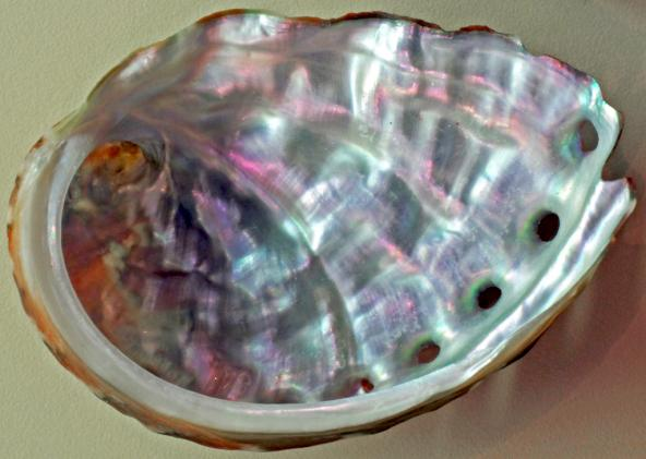 Interior shell of pinto abalone (Haliotis kamtschatkana). Photo: James St. John (CC BY 2.0) https://flic.kr/p/DNTsBV