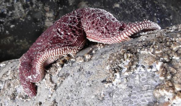 Purple sea star. Photo by brewbooks. Creative commons Attribution-ShareAlike 2.0 Generic (CC BY-SA 2.0).
