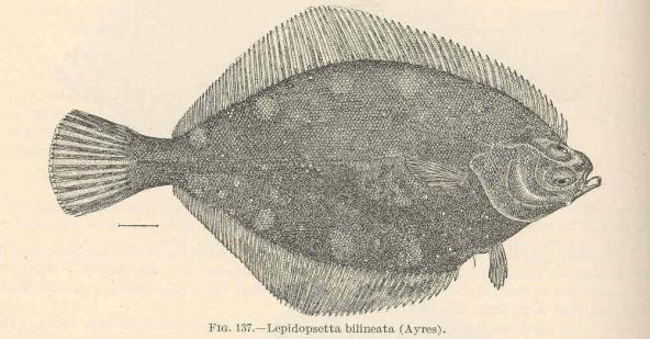 Rock Sole (Lepidopsetta bilineata); image courtesy Freshwater and Marine Image Bank, University of Washington Libraries Digital Collections