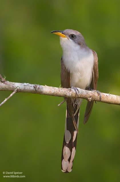 Figure 1. Yellow-billed cuckoo (© David Speiser, www.lilibirds.com).