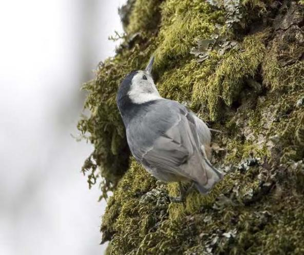 . Slender-billed white-breasted nuthatch (photo by Rod Gilbert).