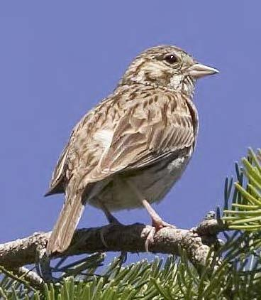 Oregon Vesper Sparrow (photo by Rod Gilbert).