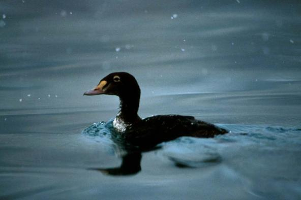 Black Scoter (Melanitta nigra). Photo by Dave Menke, U.S. Fish and Wildlife Service.
