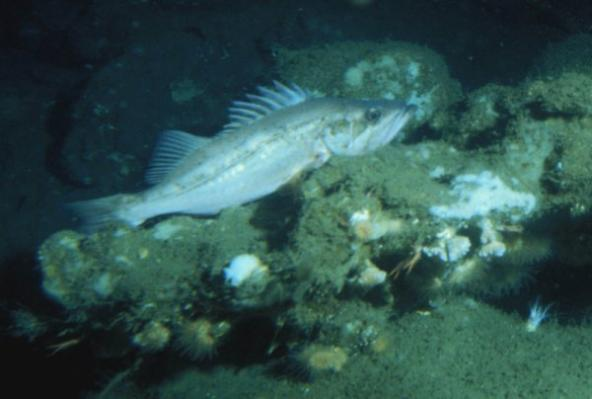 Bocaccio (Sebastes paucispinis). Photo courtesy of NOAA.