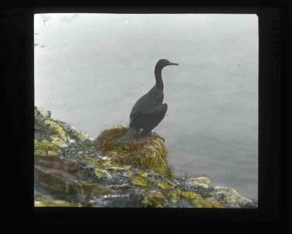 Brandt's cormorant (Phalacrocorax penicillatus). Photo by Finley and Bohlman, courtesy U.S. Fish and Wildlife Service