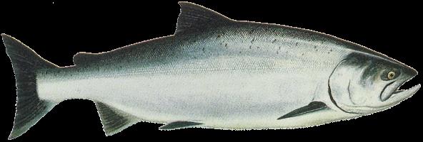 Drawing of Ocean Phase Chinook (king) salmon (Oncorhynchus tshawytscha)
