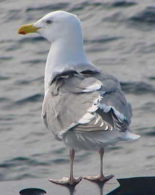 Glaucous-winged Gull (Larus glaucescens). Photo courtesy of USGS.