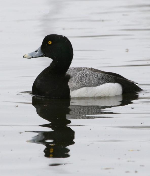 Greater scaup (Aythya marila). Photo by Donna Dewhurst, U.S. Fish and Wildlife Service.