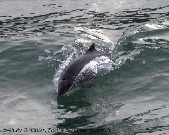 A surfing harbor porpoise in Burrows Pass, off Fidalgo Island, WA. Photo: Copyright Cindy R. Elliser, Pacific Mammal Research http://pacmam.org/