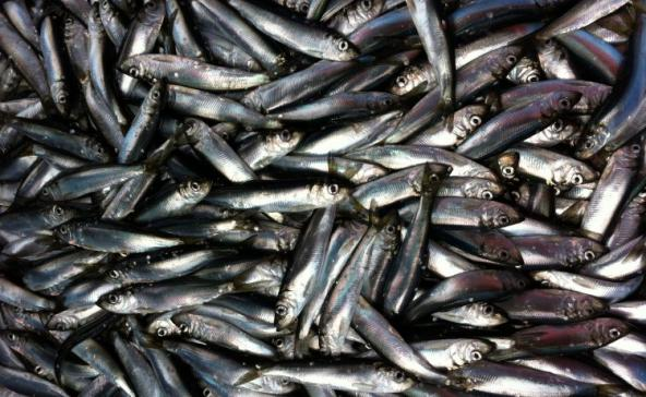 Young adult herring from Puget Sound.Margaret Siple/University of Washington