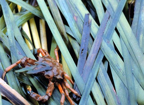 Kelp crab on eelgrass. Photo courtesy NOAA Photo Library