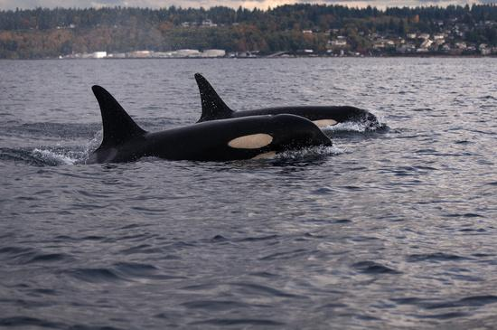 Two southern resident killer whales. Photo courtesy of NOAA.