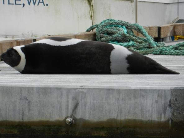 Ribbon seal sighted on January 11th, 2012 a dock on the Duwamish River, Seattle, Washington (credit Matt Cleland)