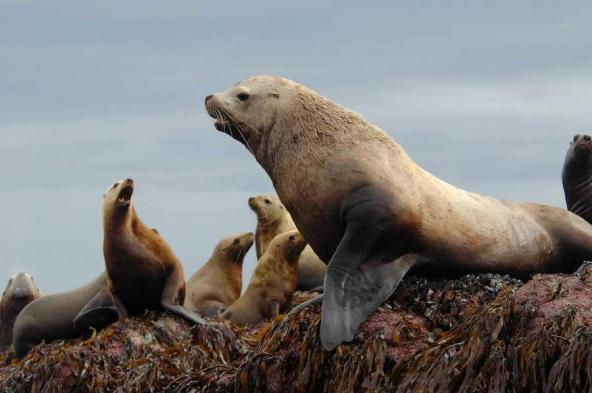Male and female Steller sea lions. Photo by Andrew Trites.
