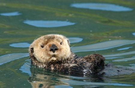 Northern Sea Otter. Photo: Alaska Department of Fish and Game