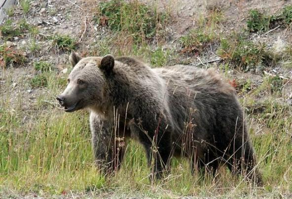Grizzly bear. Photo courtesy of Washington Department of Fish and Wildlife.