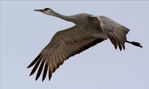 Sandhill Crane. Photo by Joseph V. Higbee.