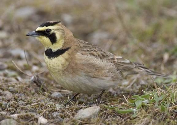 Streaked horned lark. Photo by Rod Gilbert.