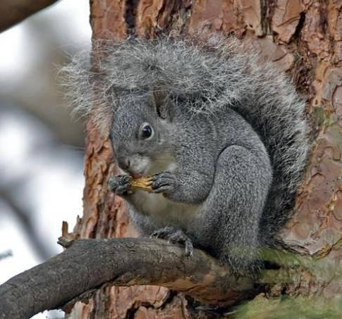 Western gray squirrel. Photo by Joseph V. Higbee.