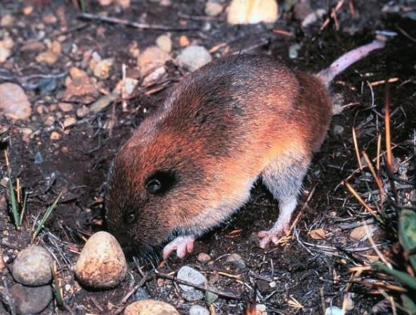 Figure 1. Mazama pocket gopher. Photo by Bill Leonard.