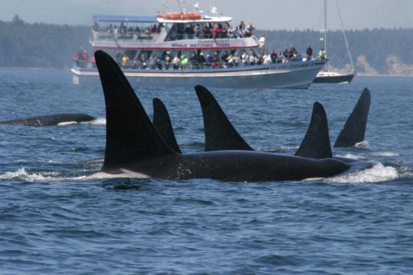 Killer whales and boat in Puget Sound. Photo courtesy of NOAA.