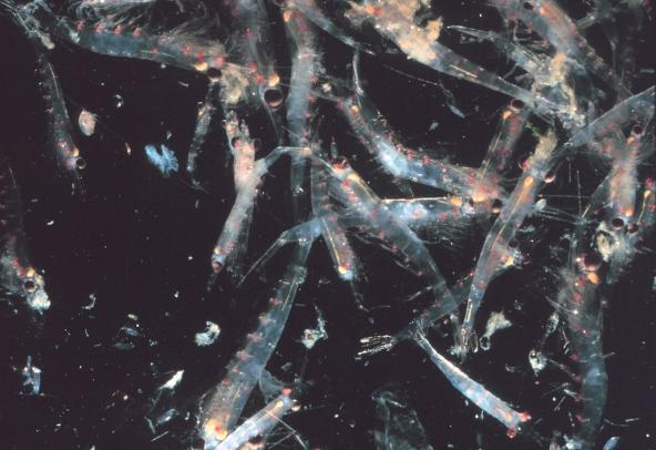 Krill swarm in the Gulf of the Farallones near San Francisco, CA.  Photo: NOAA