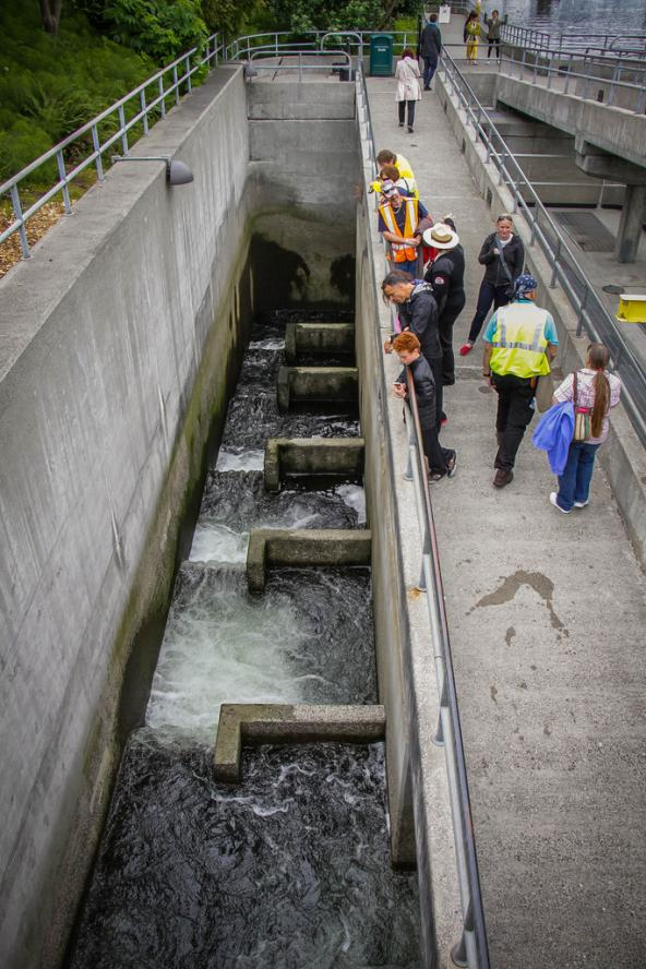 Ballard Locks fish ladder from above. Photo: Lindley Ashline (CC BY-NC-ND 2.0) https://www.flickr.com/photos/91625873@N04/14545731926
