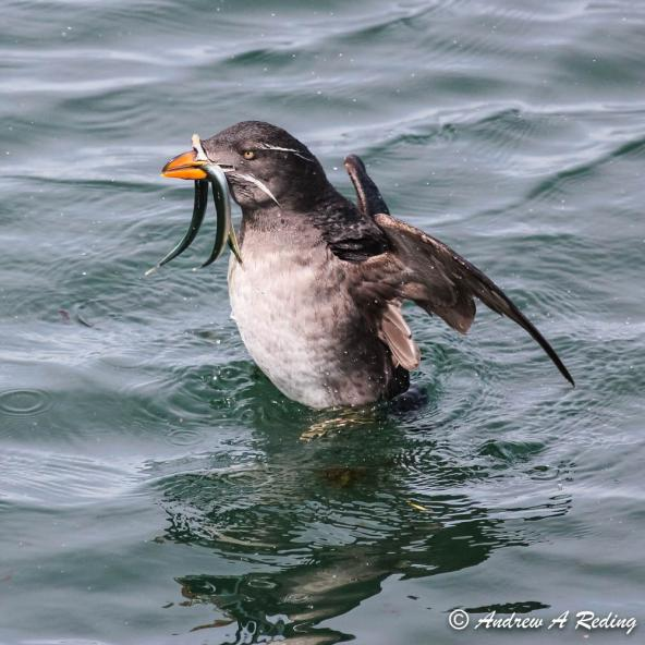 Rhinoceros auklet with Pacific sand lance. Point Hudson, Port Townsend, Washington. Photo: Andrew Reding (CC BY-NC-ND 2.0) https://www.flickr.com/photos/seaotter/16343412270