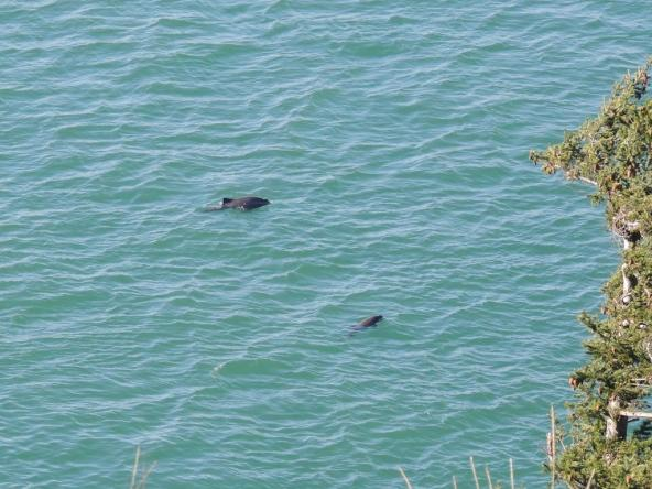 Two harbor porpoise (Phocoena phocoena) in Burrows Pass off Fidalgo Head, Anacortes, WA. Photo: Upupa4me (CC BY-SA 2.0) https://www.flickr.com/photos/meanderingwa/16559586198