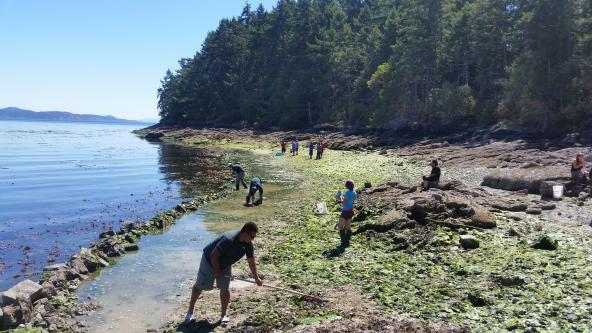 First Nations are working to restore a Russell Island clam garden rock wall in collaboration with Parks Canada. Photo: Copyright Marco Hatch https://twitter.com/marcohatch