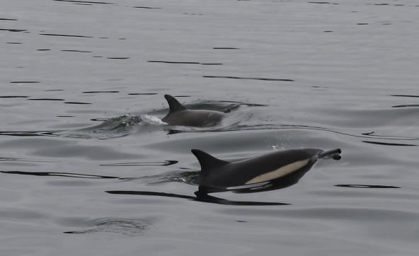 Long-beaked Common Dolphins in West Bay, Eld Inlet of Puget Sound, Olympia, WA. Photo: Jon. D. Anderson (CC BY-NC-ND 2.0) https://www.flickr.com/photos/jon_d_anderson/27968374862