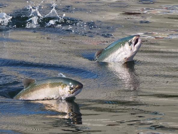 Salmon leaping at the Ballard Locks. Seattle, WA. Photo: Ingrid Taylar (CC BY 2.0) https://www.flickr.com/photos/taylar/29739921130