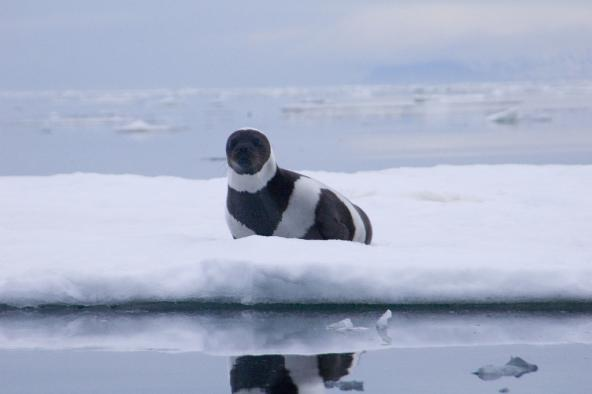 Rare adult male ribbon seal. Russia, Ozernoy Gulf. June, 2005. Photo: Michael Cameron, NOAA/NMFS/AKFSC/NMML (CC BY 2.0) https://www.flickr.com/photos/noaaphotolib/5019920865