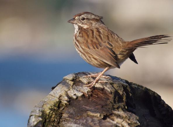 Song sparrow foraging on a beach near Seattle, WA. Photo: Ingrid Taylar (CC BY 2.0) https://www.flickr.com/photos/taylar/5164615573