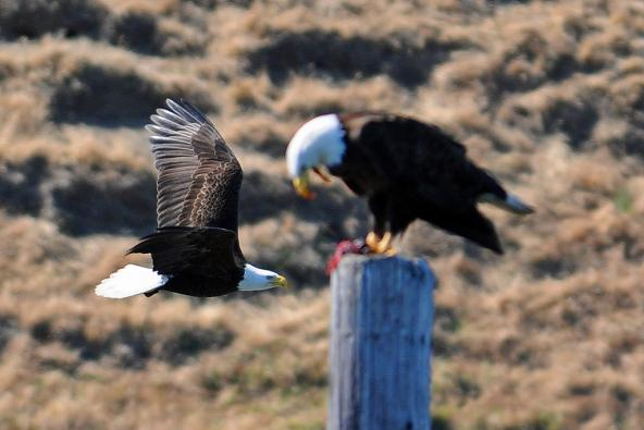 Bald Eagles. Protection Island National Wildlife Refuge. Photo: Peter Davis/U.S. Fish and Wildlife Service (CC BY-NC 2.0) https://www.flickr.com/photos/usfwspacific/5693353812