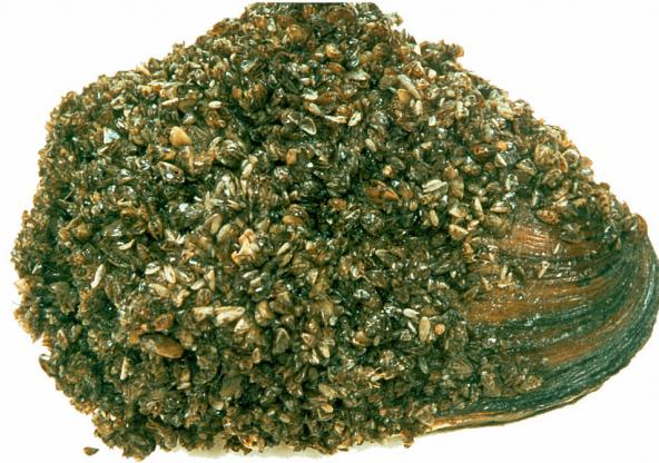 Native Great Lakes unionid mussel encrusted with zebra mussels. Photo: NOAA GLERL, 1996 (CC BY-SA 2.0) https://www.flickr.com/photos/noaa_glerl/8741976384/