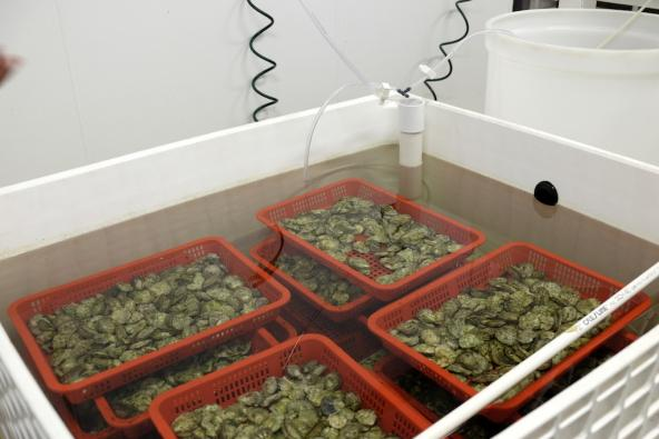 Open tank with baskets of Olympia oyster broodstock collected from Fidalgo Bay. Photo: Sarah DeWeerdt