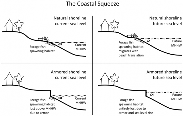 Coastal Squeeze: how armoring and sea level rise reduce spawning habitat. Graphic: Coastal Geologic Services